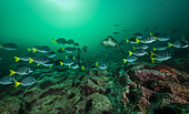 Tara Oceans Expeditions - May 2011. Schooling Yellowtail Surgeonfish (Prionurus laticlavius), Albany Islet, Galapagos, Ecuador