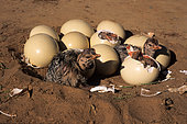 Hatching of Ostrich eggs (Struthio camelus), South Africa