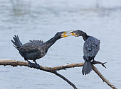 Great Cormorant (Phalacrocorax carbo) feeding on a branch, Spain