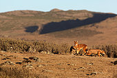Abyssinian wolf (Canis simensis), Web Valley, Bale mountains, Ethiopia