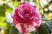 Camellia 'Conte Bouturlin' in bloom in a garden