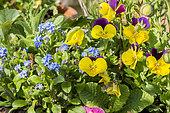 Viola cornuta 'Sorbet jaune à aile pourpre', Myosotis alpestris