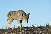Coyote (Canis latrans) A coyote stalking the mangroves. Baja California. Mexico.