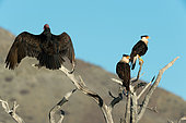 Turkey vulture (Cathartes aura) and Crested Caracara (Caracara cheriway) on perch. Baja California. Mexico.