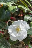Camellia 'Frost Queen' in bloom in a garden