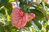 Camellia 'Mathotiana Rosea' in bloom in a garden