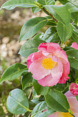 Camellia 'Nuccio's Carousel' in bloom in a garden
