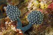 Ascidie pédonculée bleue (Nephtheis fascicularis), Détroit de Lembeh, Sulawesi, Indonésie