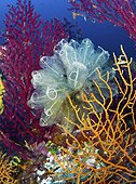 Light-bulb sea squirts (Clavelina lepadiformis) on Yellow Gorgonian (Eunicella cavolini), behind red Violescent sea-whips (Paramuricea clavata), Capri, Campania, Southern Italy, Italy, Europe