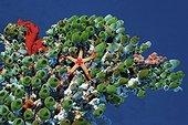 Necklace Sea Star (Fromia monilis) on a colony Robust Sea Squirts (Atriolum robustum), Ari Atoll, Maldives, Asia