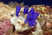 Blue Sea Squirt (Clavelina coerulea), Moalboal, Cebu, Visayas, Philippines, Asia