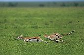 Cheetah (Acinonyx jubatus) chasing a Thomson's Gazelle (Gazella thomsonii) , Serengeti, Ngorongoro Conservation Area