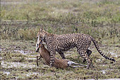 Cheetah (Acinonyx jubatus) carrying its prey, a Thomson's Gazelle (Gazella thomsonii) in rain, Serengeti, Tanzania