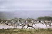 Lycaon (Lycaon pictus) chassant des Zèbres de Grant (Equus quagga boehmi), Serengeti, Tanzanie