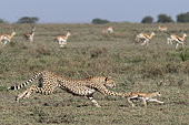 Cheetah (Acinonyx jubatus) pursing its prey, a young Thomson's Gazelle (Gazella thomsonii), Serengeti, Tanzania