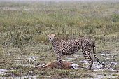 Cheetah (Acinonyx jubatus) with its prey, a Thomson's Gazelle (Gazella thomsonii) in rain, Serengeti, Tanzania
