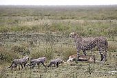 Cheetah (Acinonyx jubatus) and young with prey, a Thomson's Gazelle (Gazella thomsonii) in rain, Serengeti, Tanzania