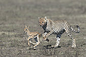 Cheetah (Acinonyx jubatus) pursuing its prey, a Thomson's Gazelle (Gazella thomsonii), Serengeti, Tanzania