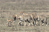 Young Cheetahs (Acinonyx jubatus) pursing their prey, a young Thomson's Gazelle (Gazella thomsonii), Serengeti, Tanzania