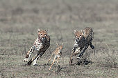 Cheetahs (Acinonyx jubatus) pursing their prey, a young Thomson's Gazelle (Gazella thomsonii), Serengeti, Tanzania