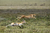 Cheetah (Acinonyx jubatus) pursing its prey, a Thomson's Gazelle (Gazella thomsonii), Serengeti, Tanzania