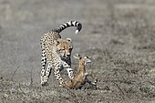Cheetah (Acinonyx jubatus) catching its prey, a Thomson's Gazelle (Gazella thomsonii), Serengeti, Tanzania