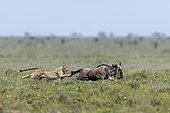 Guépard (Acinonyx jubatus) poursuivant sa proie, un Gnou à queue noire (Connochaetes taurinus), Serengeti, Tanzanie