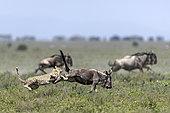 Guépard (Acinonyx jubatus) capturant sa proie, un Gnou à queue noire (Connochaetes taurinus), Serengeti, Tanzanie
