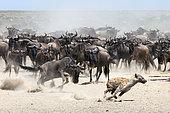 Gnou à queue noire (Connochaetes taurinus) poursuivant une Hyène tachetée (Crocuta crocuta), Serengeti, Tanzanie