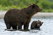 Ours du Kamtchatka (Ursus arctos beringianus) ourse et son ourson dans l'eau, Kamchatka, Russia