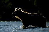 Kamchatka brown Bear (Ursus arctos beringianus) in water, Kamchatka, Russia