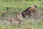Cheetah (Acinonyx jubatus) catching its prey, a Blue wildebeest (Connochaetes taurinus), Serengeti, Tanzania