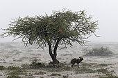 Wild dog (lycaon pictus) protecting from the rain under a tree in the savannah, Serengeti, Tanzania
