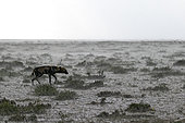 Wild dog (lycaon pictus) in the rain in the savannah, Serengeti, Tanzania