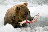 Grizzly bear (Ursus arctos horribilis) eating a Salmon in water, Alaska