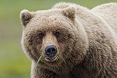 Grizzly bear (Ursus arctos horribilis) eating grass, Alaska