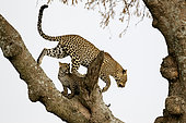 Leopard (Panthera pardus) in a tree, Serengeti, Tanzania