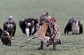 Speckled hyena (Crocuta crocuta) eating a Thomson's gazelle (Eudorcas thomsonii) and Vultures, Serengeti, Tanzania