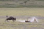 Cheetah (Acinonyx jubatus) hunting a young wildebeest (Connochaetes taurinus), Serengeti, Tanzania