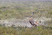 Cheetah (acinonyx jubatus) hunting a Thomson's Gazelle (Gazella thomsonii), Serengeti, Tanzania