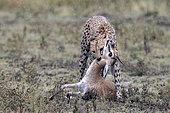Cheetah (acinonyx jubatus) killing his prey, a Thomson's gazelle (Eudorcas thomsonii), Serengeti, Tanzania