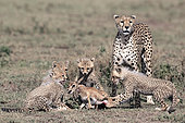 Cheetah (acinonyx jubatus) and young hunting a Thomson's gazelle (Eudorcas thomsonii), Serengeti, Tanzania