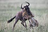 Cheetah (Acinonyx jubatus) catching a wildebeest (Connochaetes taurinus), Serengeti, Tanzania