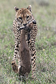 Cheetah (acinonyx jubatus) carrying his prey, a Thomson's gazelle (Eudorcas thomsonii), Serengeti, Tanzania
