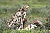 Cheetah (acinonyx jubatus) and young eating a Thomson's gazelle (Eudorcas thomsonii), Serengeti, Tanzania