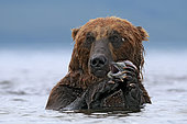 Kamchatka brown Bear (Ursus arctos beringianus) eating salmon in water, Kamchatka, Russia. Glanzlichter 2013 - Germany - Highly Commended