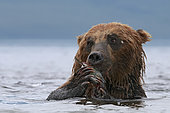 Kamchatka brown Bear (Ursus arctos beringianus) eating salmon in water, Kamchatka, Russia