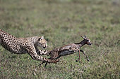 Cheetah (acinonyx jubatus) catching a young Thomson's gazelle (Eudorcas thomsonii), Serengeti, Tanzania