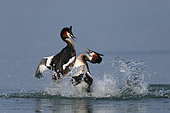 Great crested grebe (Podiceps cristatus) fighting, Garda lake, Italy. FIAP World Cup 2014 Silver Medal