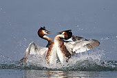 Great crested grebe (Podiceps cristatus) fighting, Garda lake, Italy